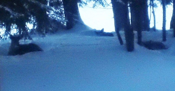 Deer Sleeping in Muskoka